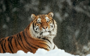 large-Tiger-photo